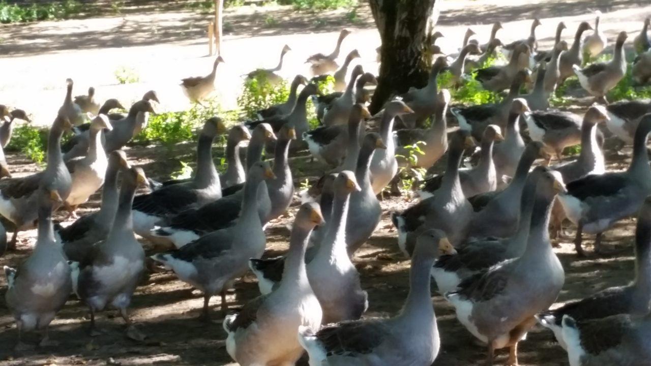visite guidée oies et noix Dordogne